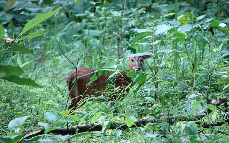 Barking_deer_at_Biligiriranga_Hills_WLS_Karnataka